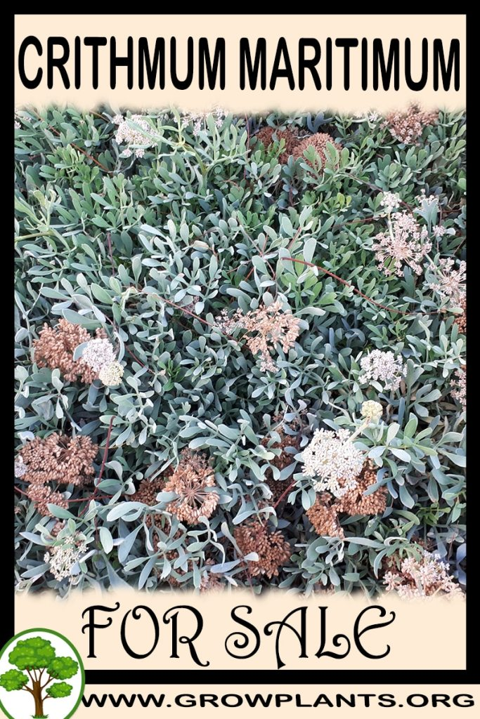Crithmum maritimum for sale