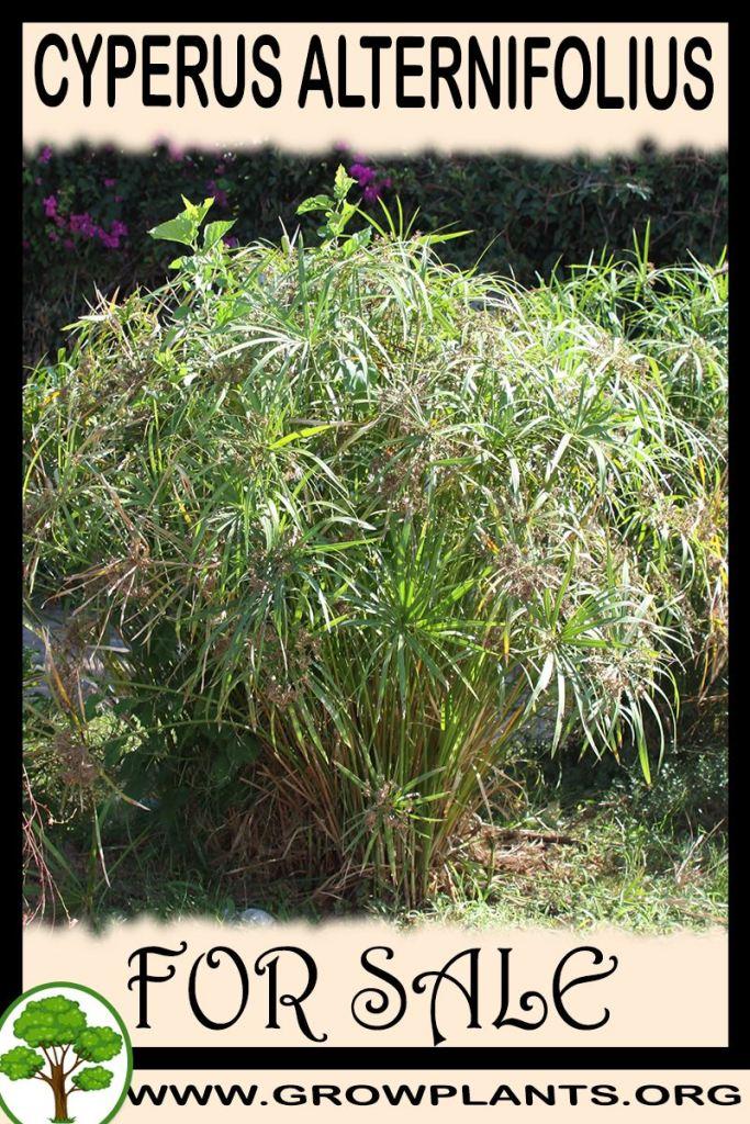 Cyperus alternifolius for sale