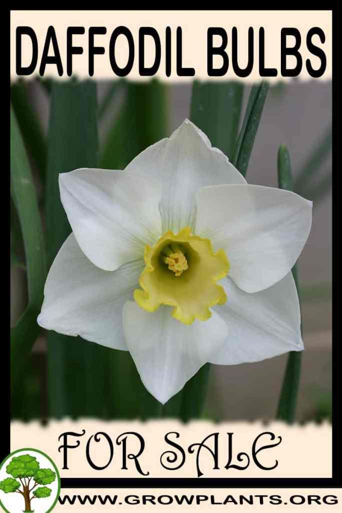 Daffodil bulbs for sale