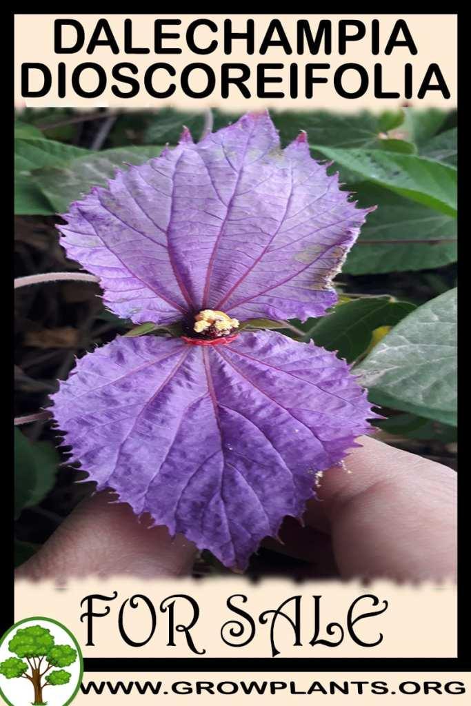 Dalechampia dioscoreifolia for sale