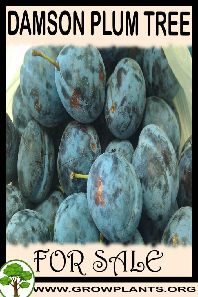 Damson plum tree for sale