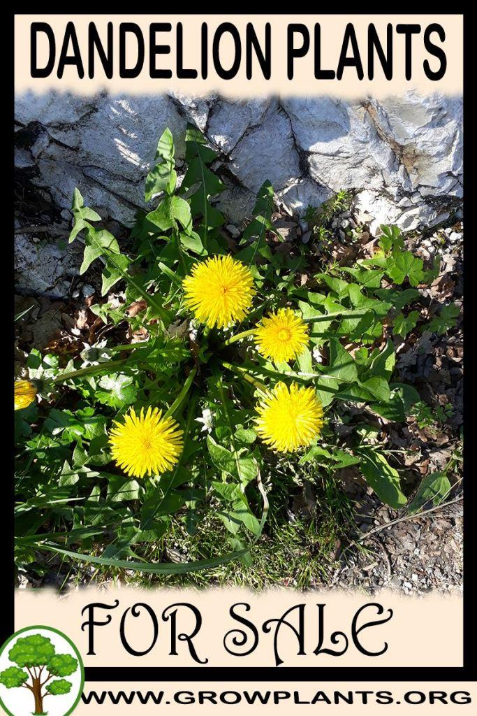 Dandelion plants for sale