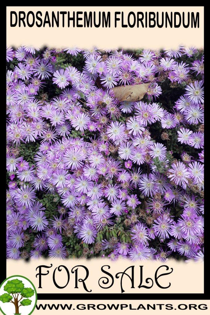 Drosanthemum floribundum for sale