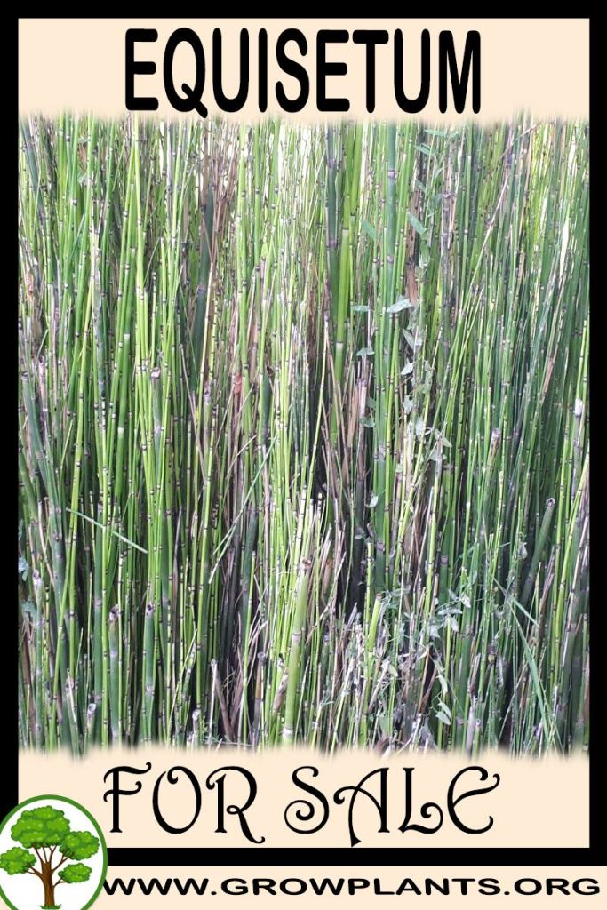 Equisetum for sale