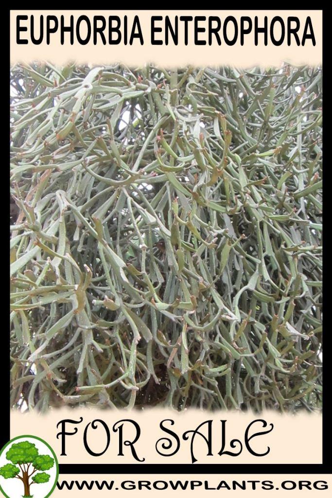 Euphorbia enterophora for sale