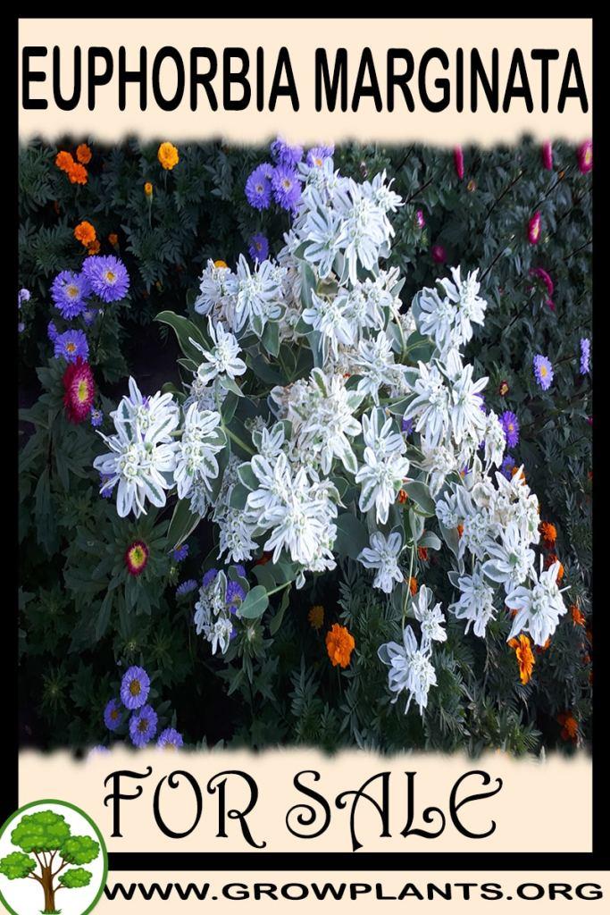 Euphorbia marginata for sale