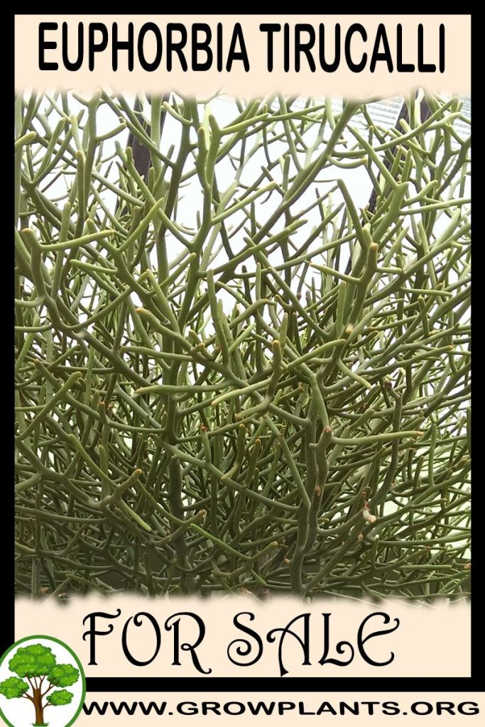 Euphorbia tirucalli for sale