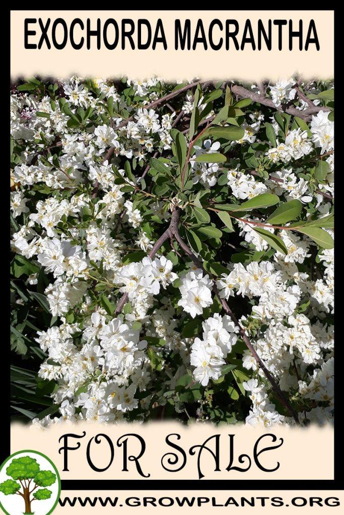 Exochorda macrantha for sale