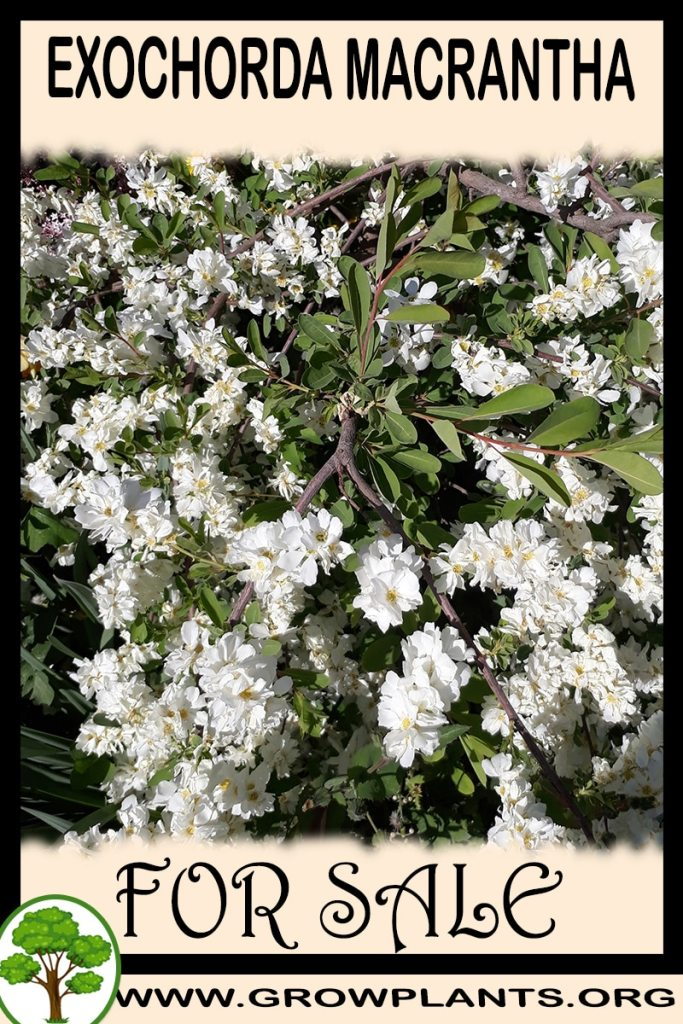 Exochorda macrantha for sale