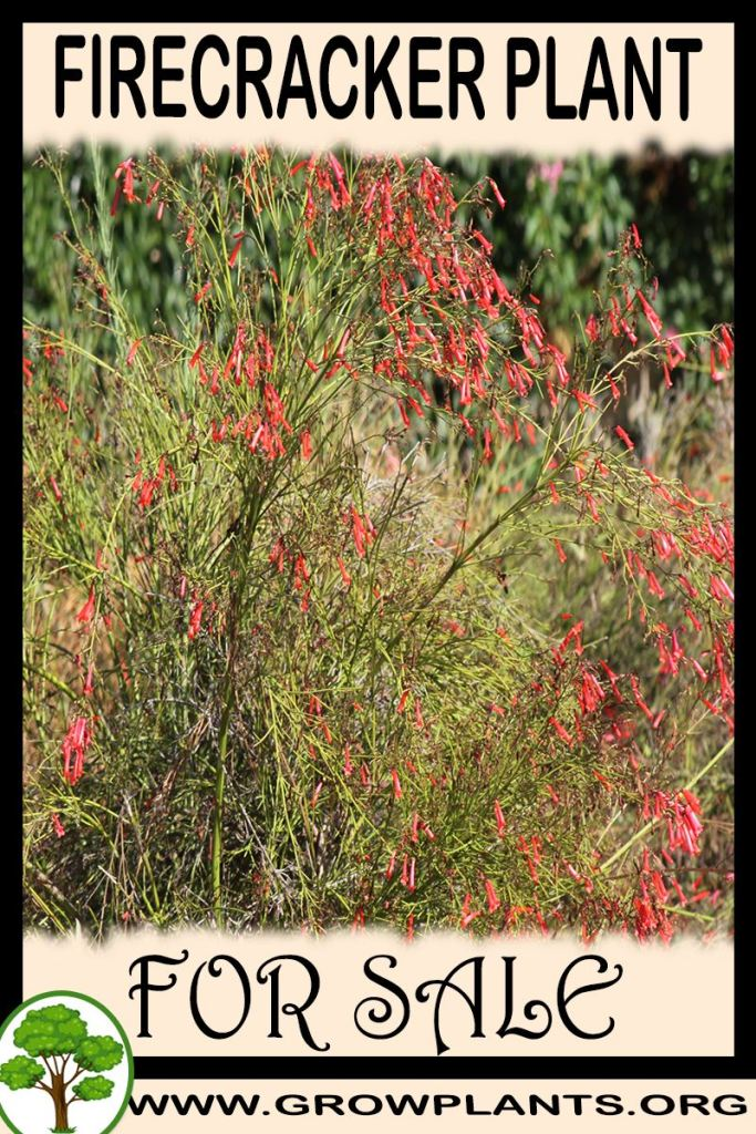 Firecracker plant for sale