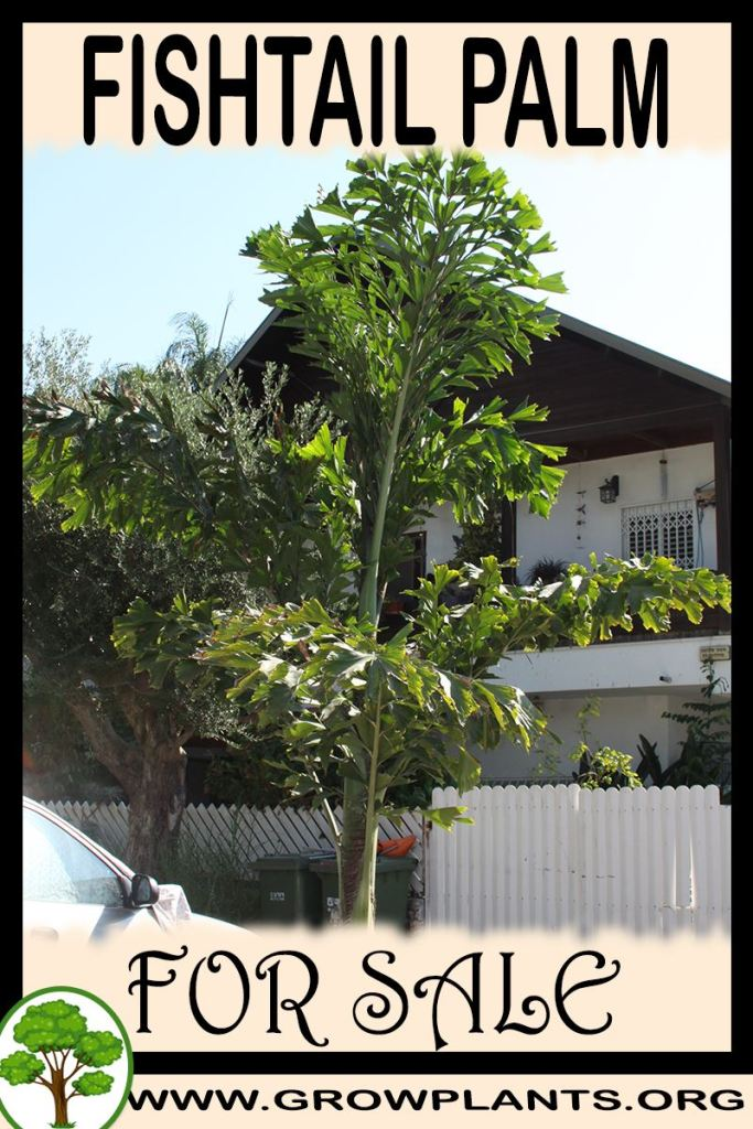 Fishtail palm for sale