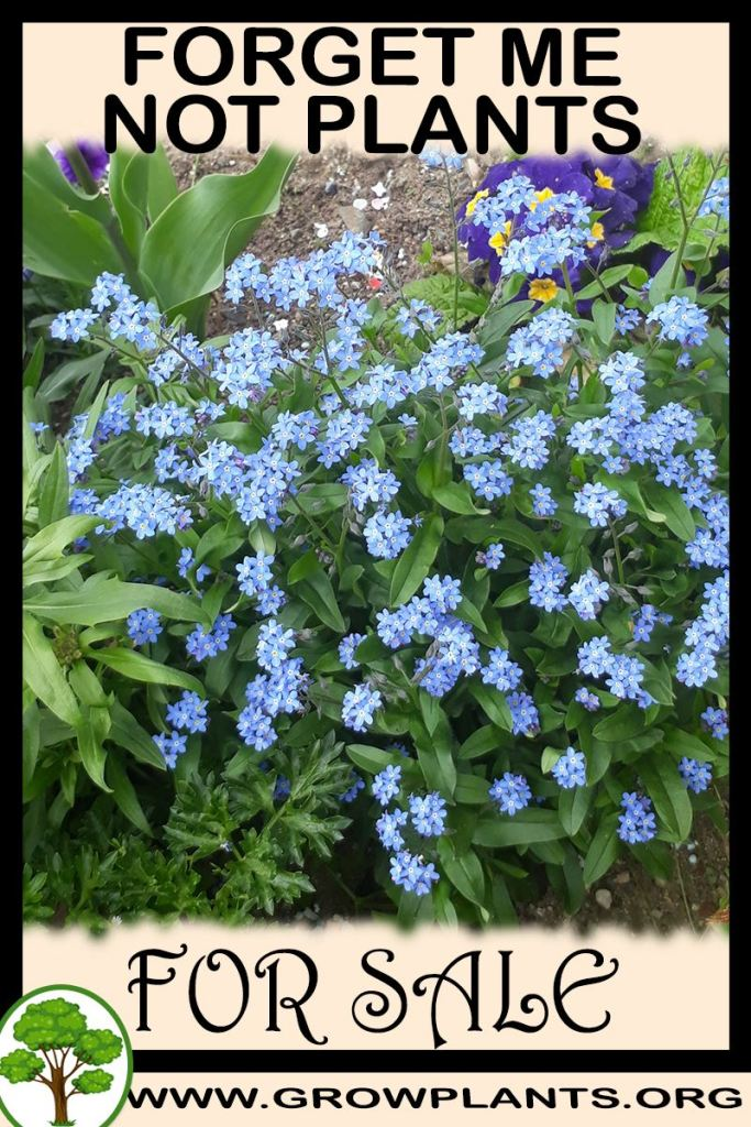 Forget me not plants for sale