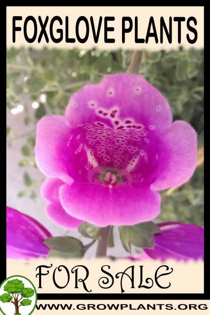 Foxglove plants for sale