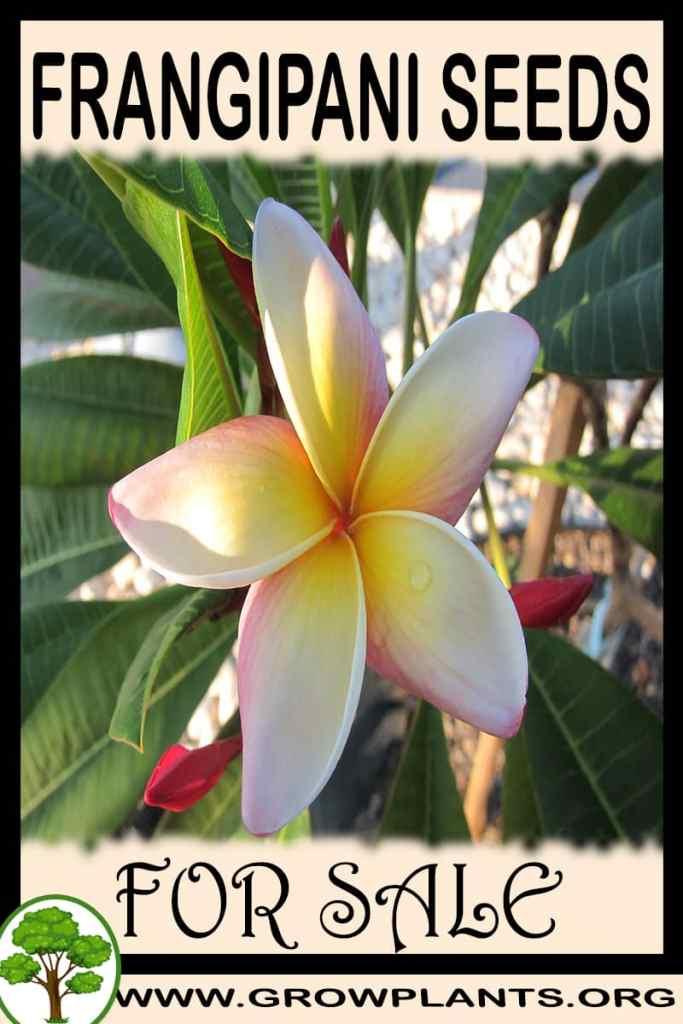 Frangipani seeds for sale