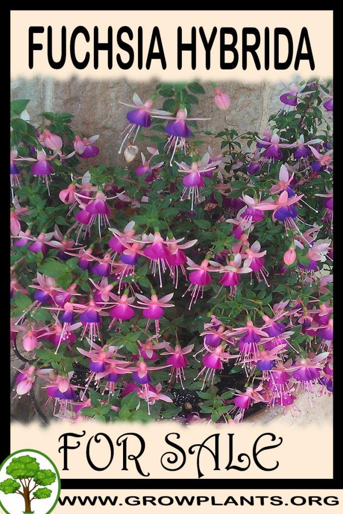 Fuchsia hybrida for sale
