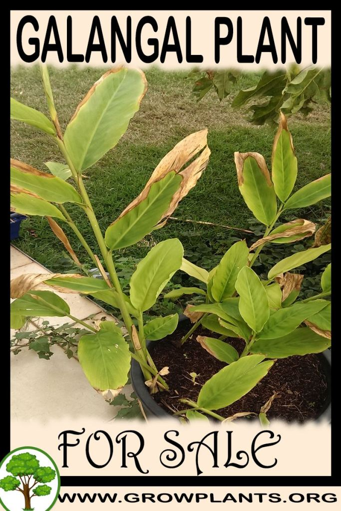 Galangal plant for sale