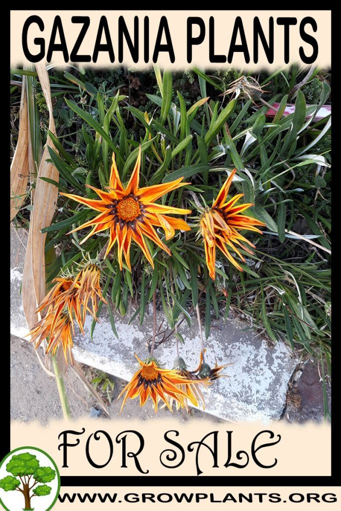 Gazania plants for sale