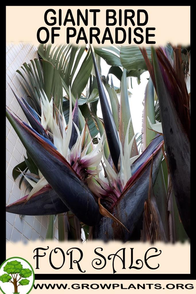 Giant bird of paradise for sale