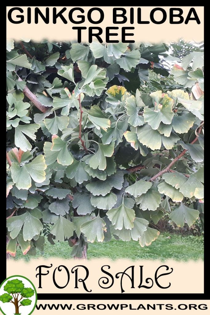 Ginkgo biloba tree for sale