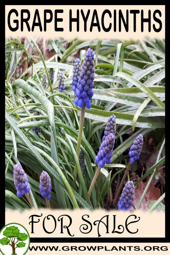 Grape hyacinths for sale