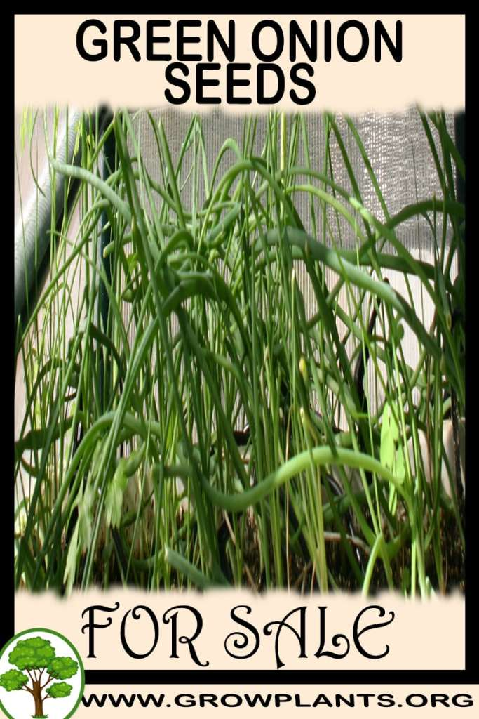 Green onion seeds for sale