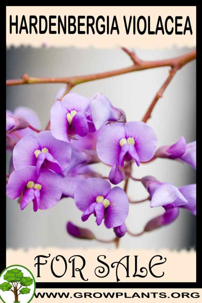 Hardenbergia violacea for sale