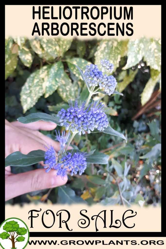 Heliotropium arborescens for sale
