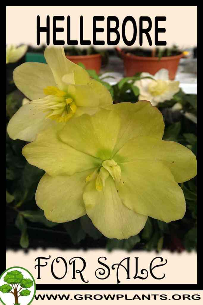 Hellebore for sale