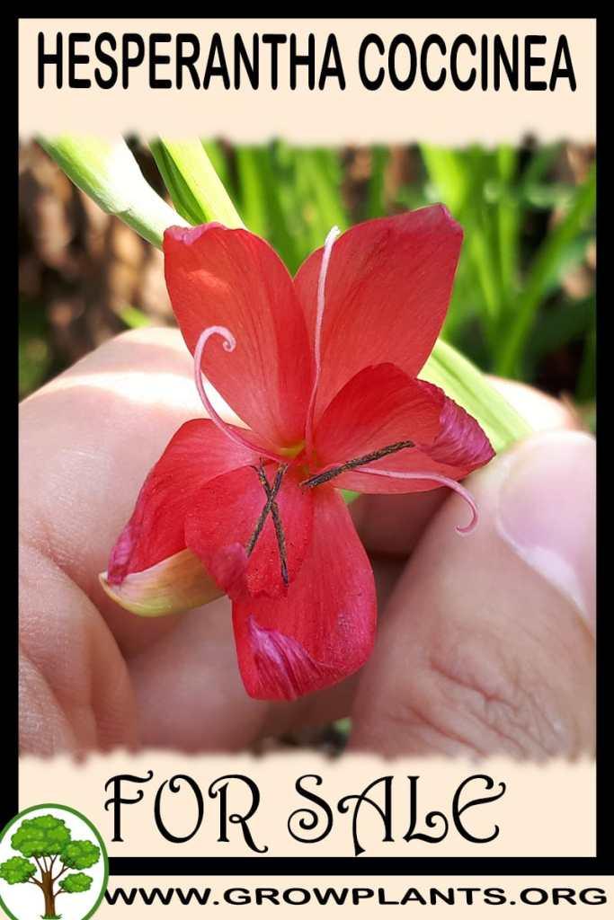 Hesperantha coccinea for sale