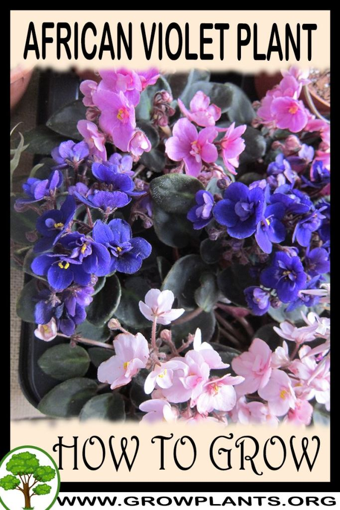 How to grow African violet plant