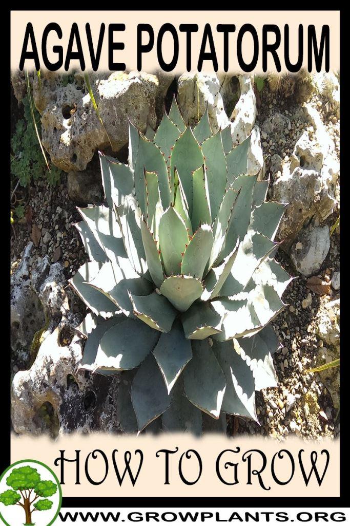 How to grow Agave potatorum