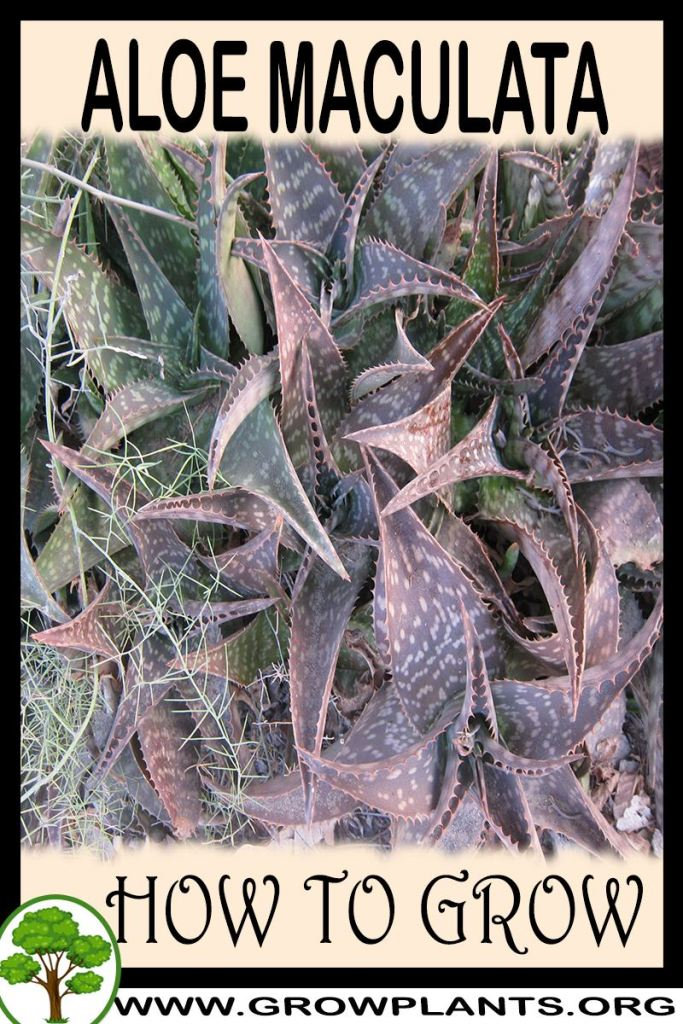 How to grow Aloe maculata