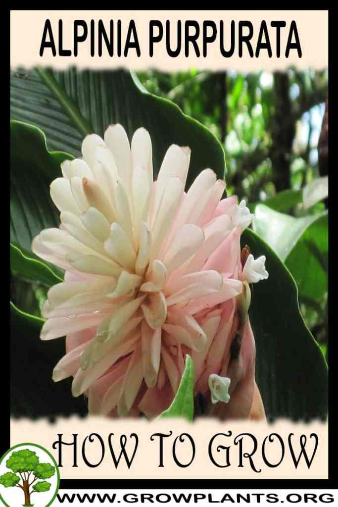 How to grow Alpinia purpurata