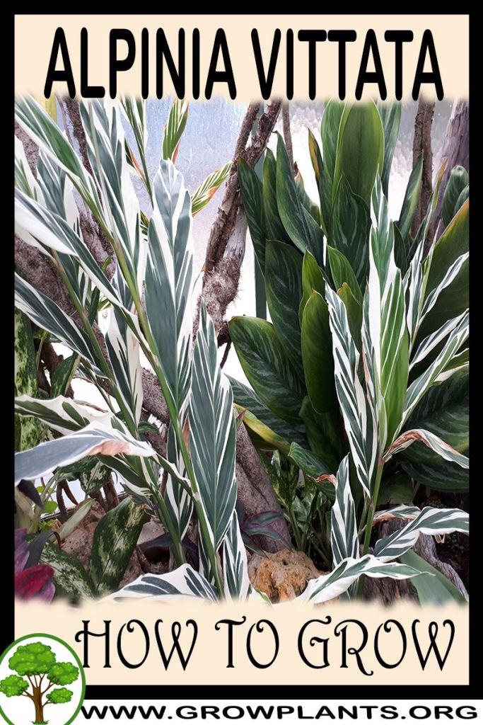 How to grow Alpinia vittata