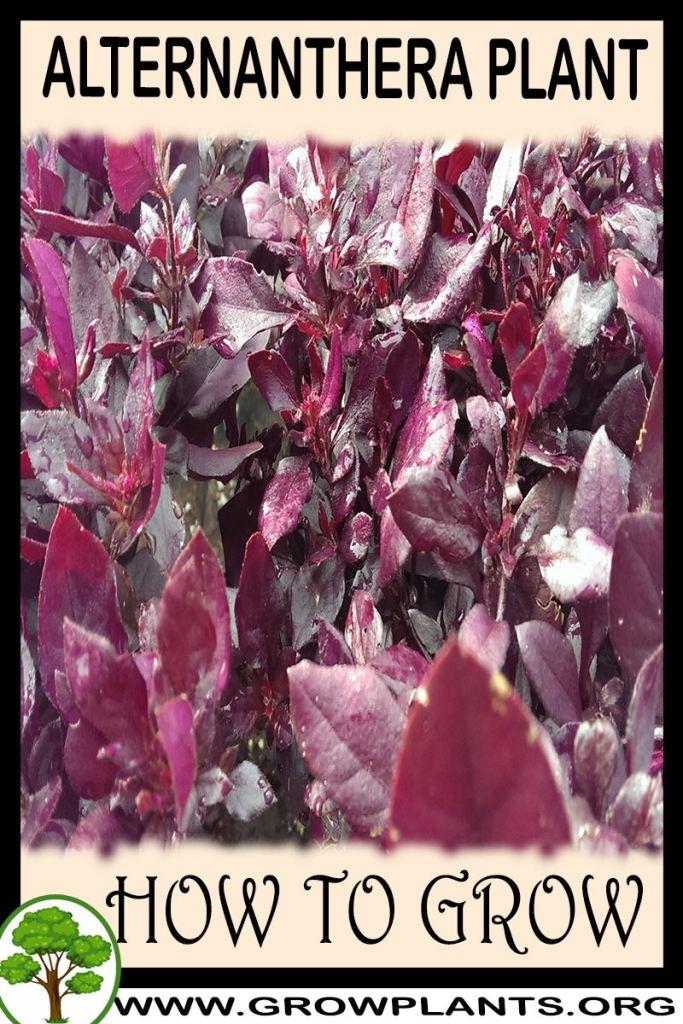 How to grow Alternanthera plant