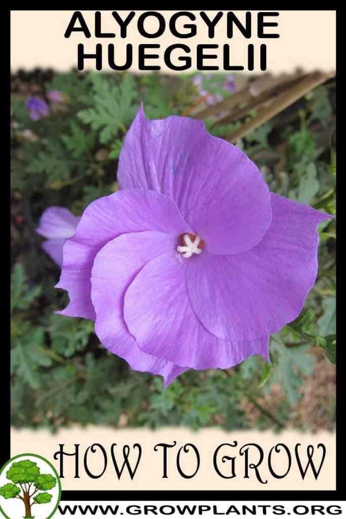 How to grow Alyogyne huegelii