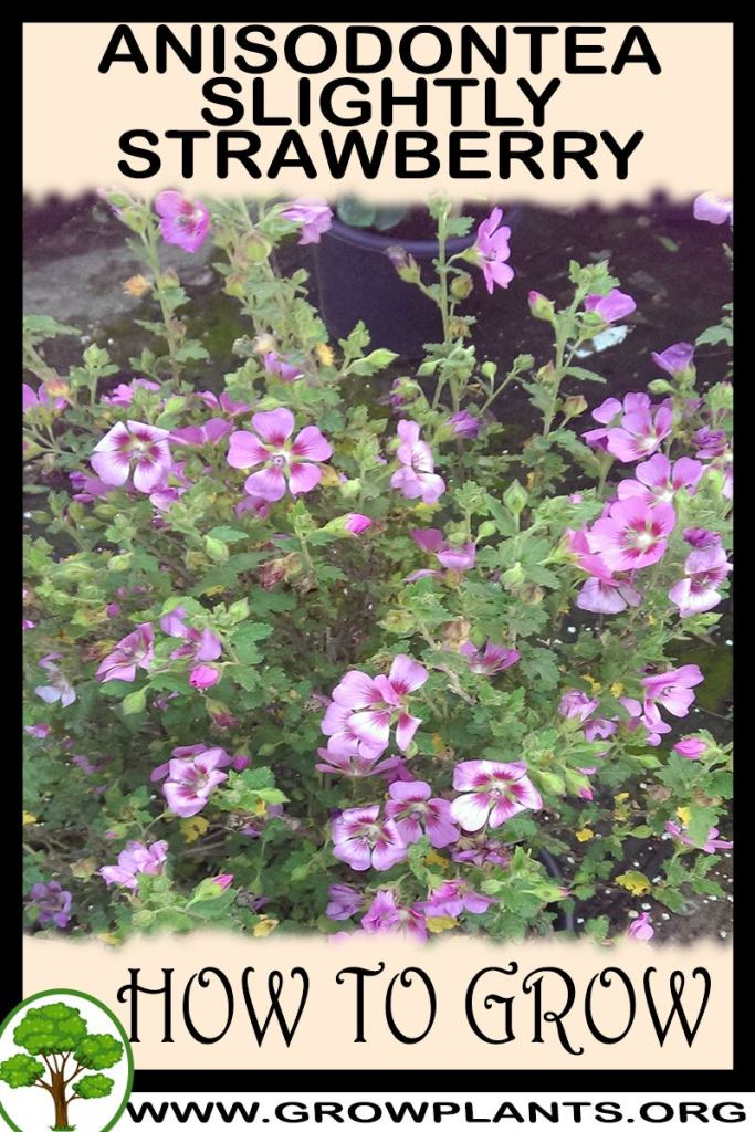 How to grow Anisodontea Slightly strawberry