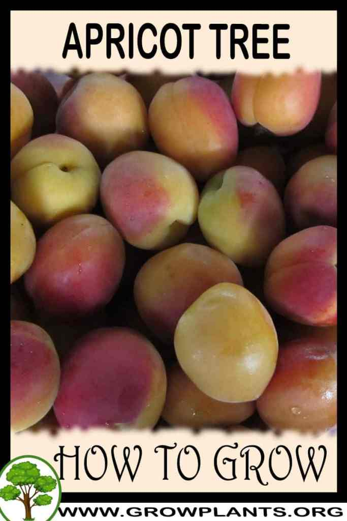 How to grow Apricot tree