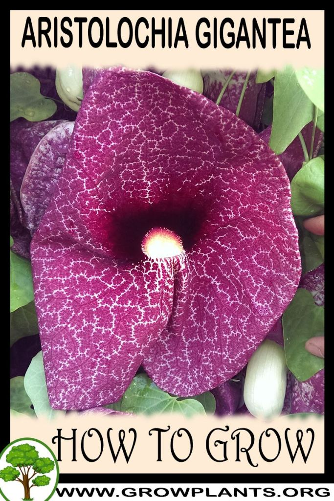 How to grow Aristolochia gigantea