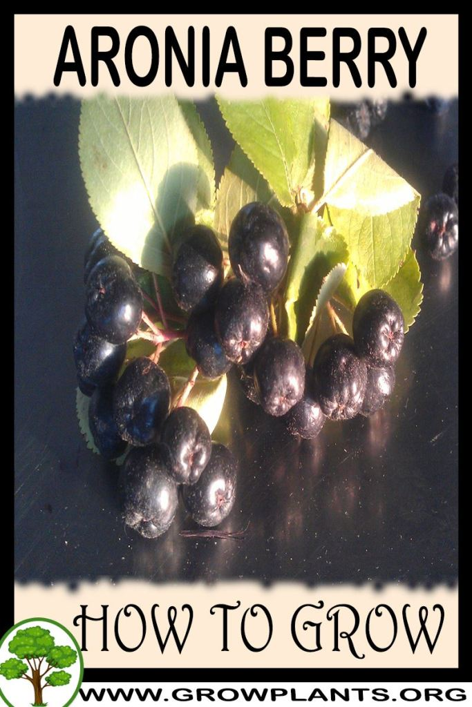 How to grow Aronia berry