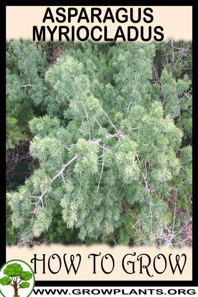 How to grow Asparagus myriocladus