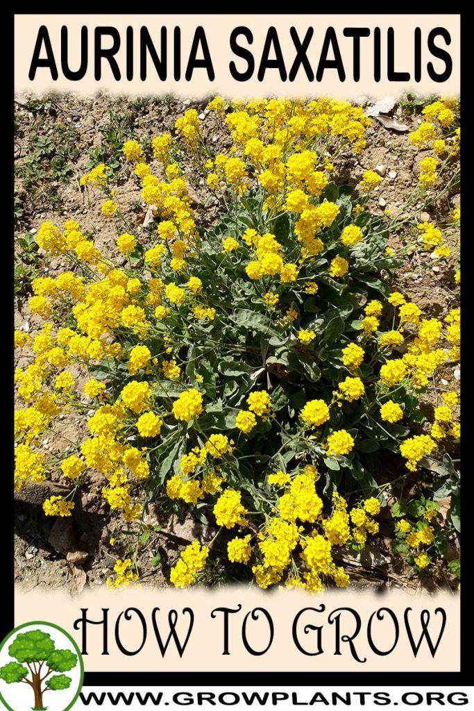 How to grow Aurinia saxatilis