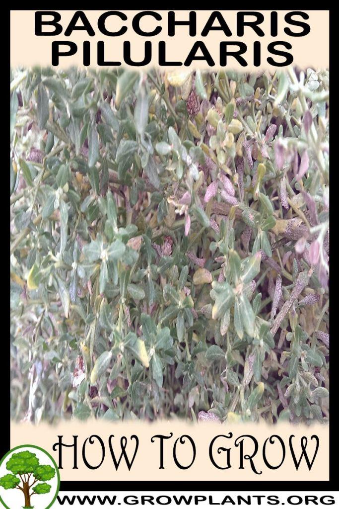 How to grow Baccharis pilularis