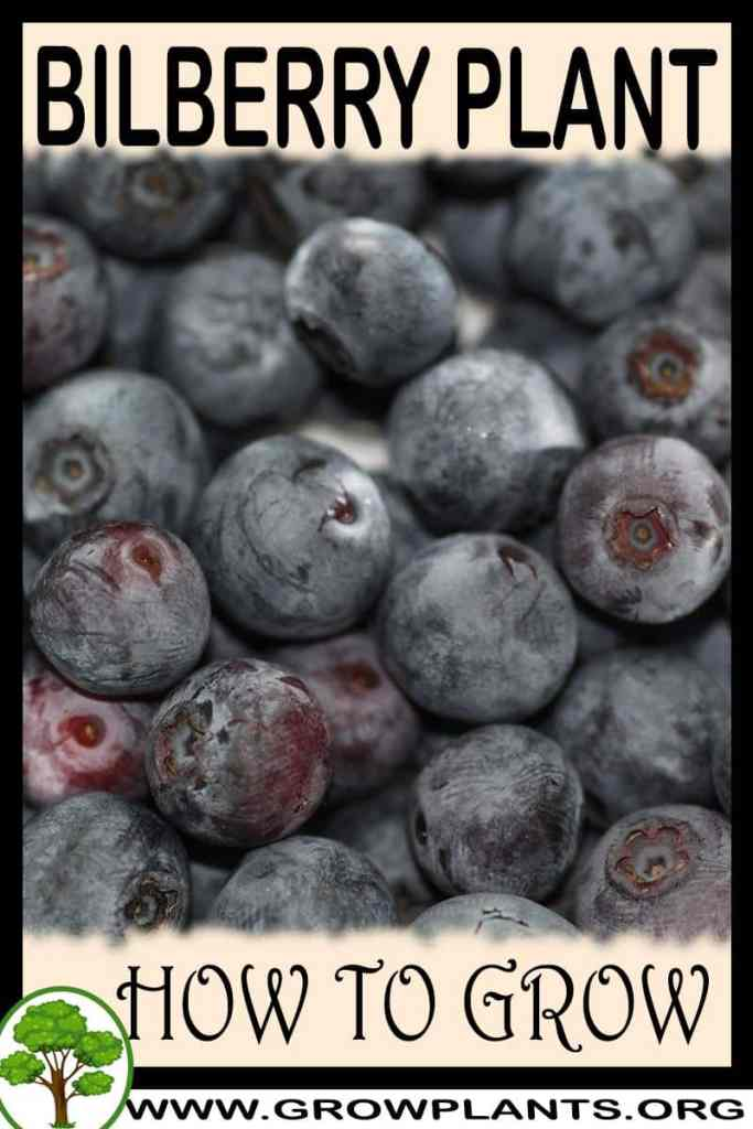 How to grow Bilberry