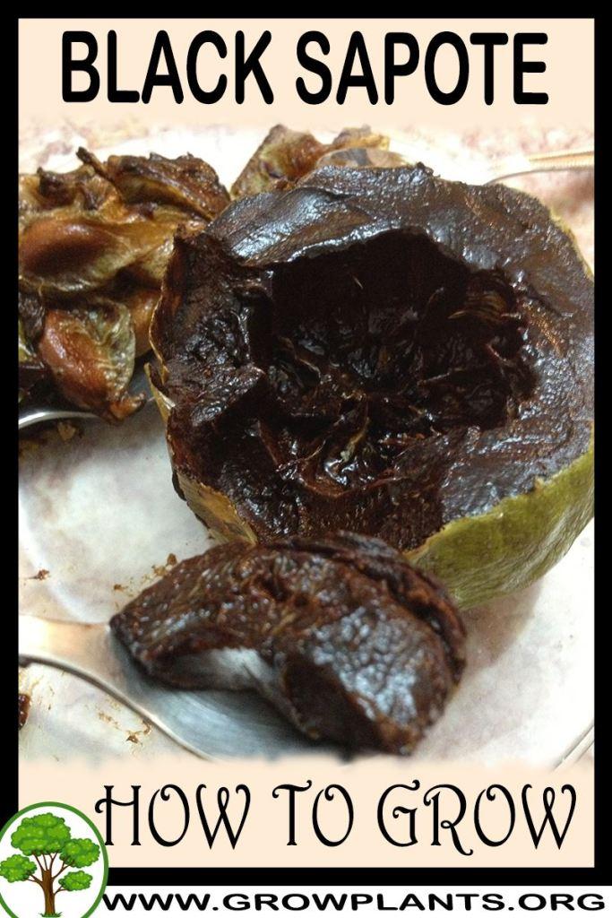 How to grow Black sapote