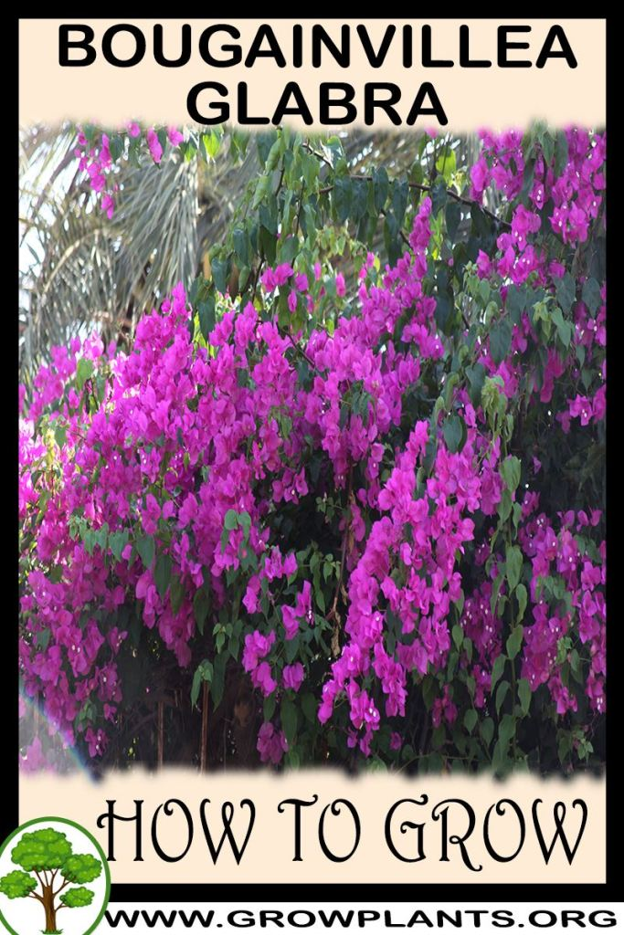 How to grow Bougainvillea glabra