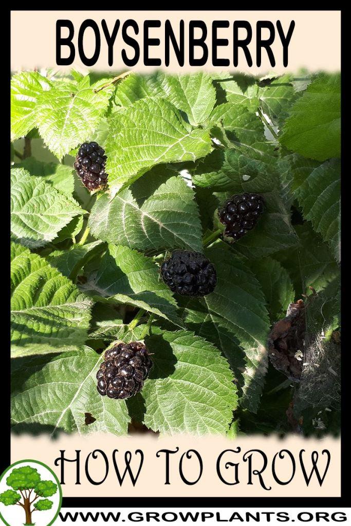 How to grow Boysenberry