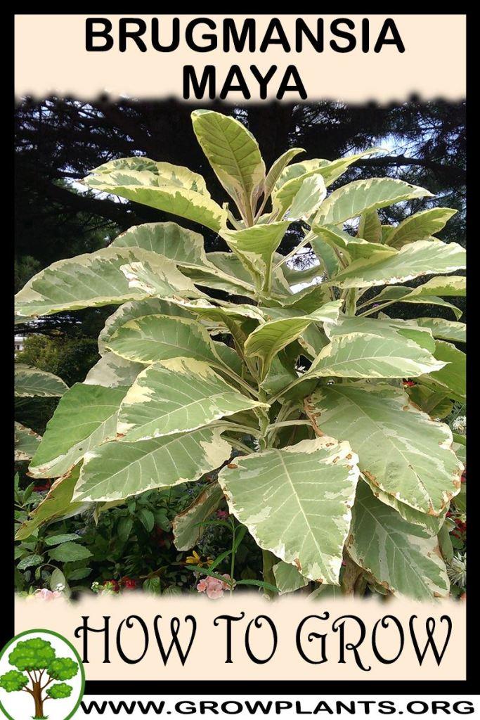 How to grow Brugmansia maya