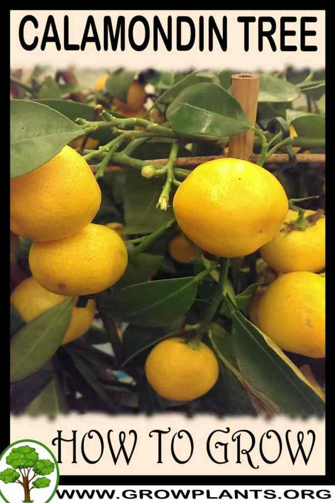 How to grow Calamondin
