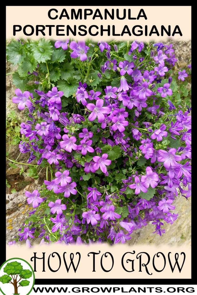 How to grow Campanula portenschlagiana